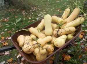 Butternut Squash Surplus